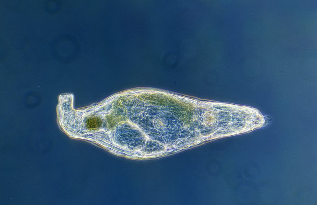 Rotifer (Rotaria rotatoria) a microscopically small animal with a length of 004 to 240 mm, waterborne and can inhabit highly acidic environments : Stock Photo
