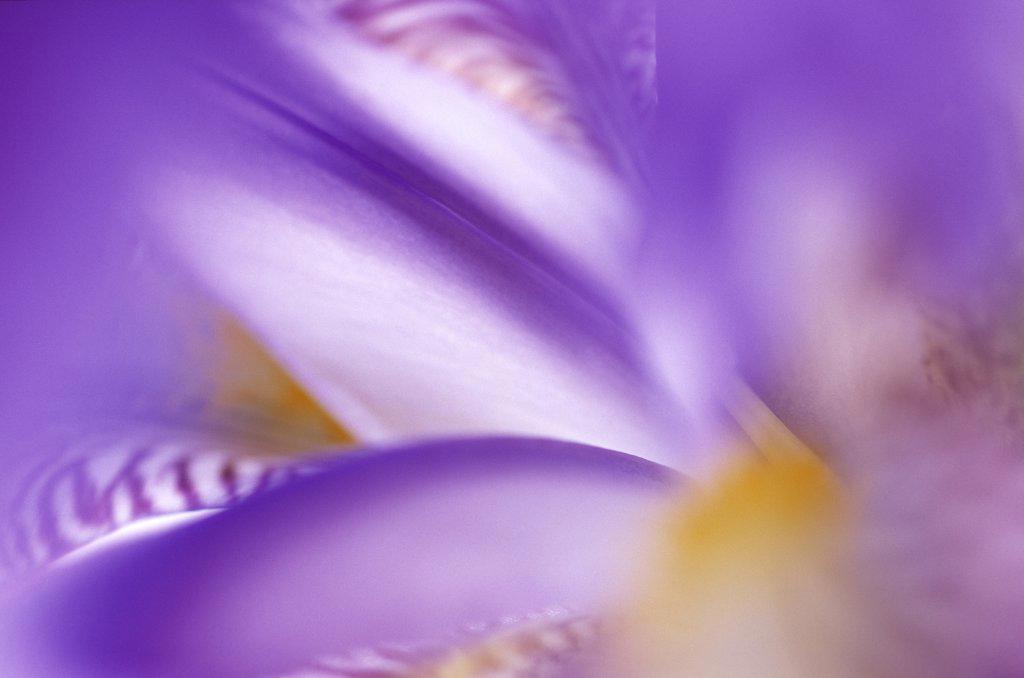 Iris (Iris sp) abstract close up : Stock Photo
