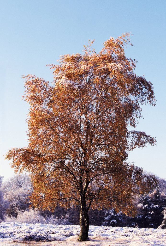 Stock Photo: 4201-24617 European White Birch (Betula pendula) tree in fall in frost-covered landscape, Europe