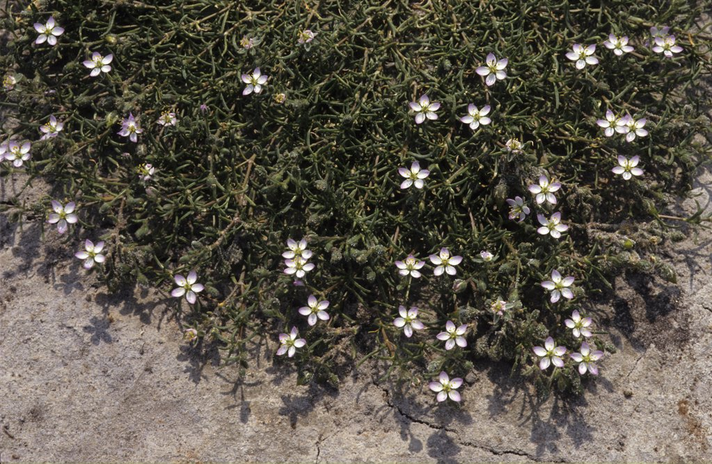 Stock Photo: 4201-25190 Salt Sandspurry (Spergularia salina) growing in beach sand