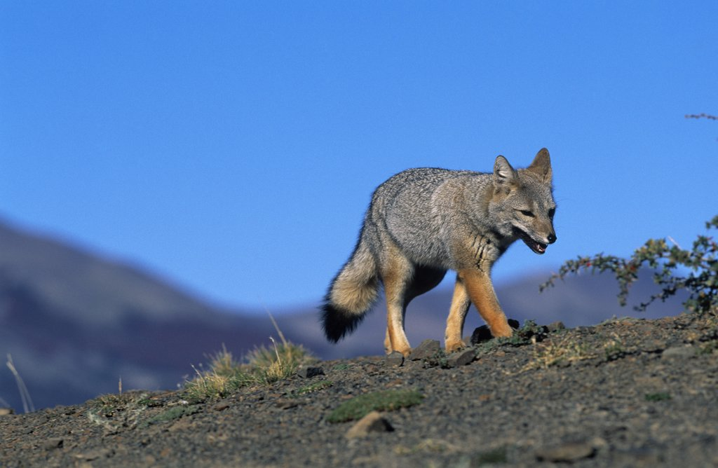 South American Gray Fox (Lycalopex griseus) walking over bare ground, Patagonia, Argentina : Stock Photo