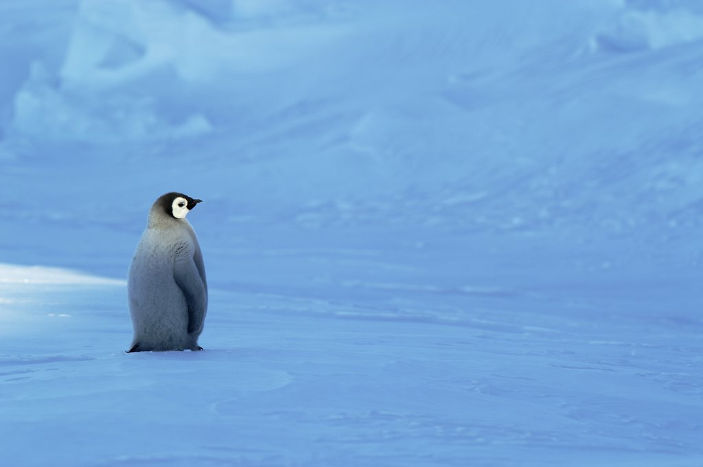 Emperor Penguin (Aptenodytes forsteri) chick, Riiser-Larsen Ice Shelf, Antarctica : Stock Photo