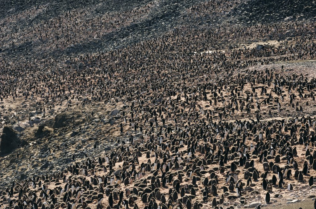 Stock Photo: 4201-25947 Adelie Penguin (Pygoscelis adeliae) colony, Brown Bluff, Antarctica
