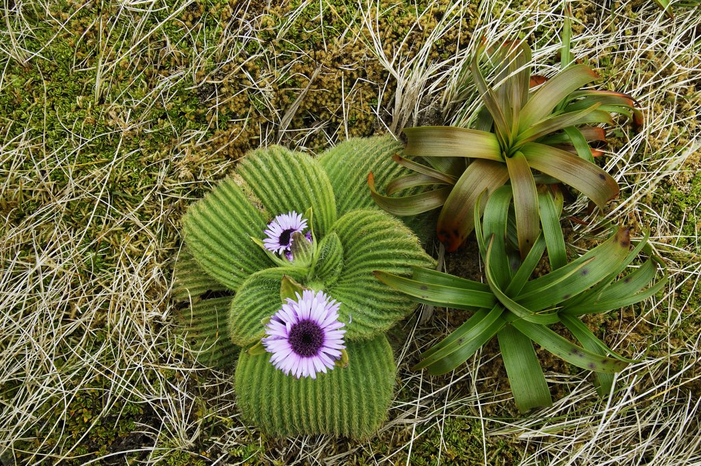 Stock Photo: 4201-26089 Giant Daisy (Pleurophyllum speciosum) flowers, Campbell Island, Antarctica