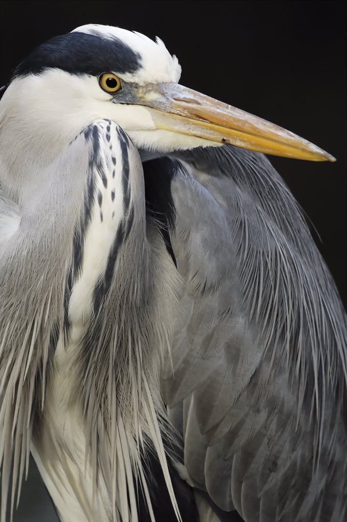 Grey Heron (Ardea cinerea) portrait, Artis Zoo, Amsterdam, Netherlands : Stock Photo