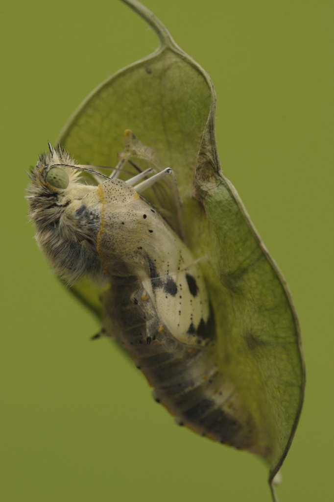 Cabbage Butterfly (Pieris brassicae) chrysalis with metamorphized butterfly emerging, Netherlands, Sequence 7 of 17 : Stock Photo
