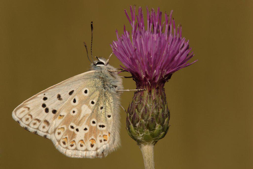 Chalk-hill Blue (Lysandra coridon) butterfly on thistle, St. Lazaire le Desert, France : Stock Photo