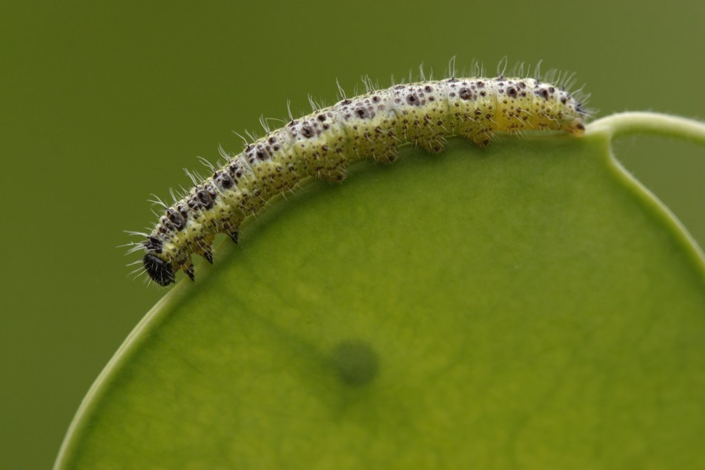 Stock Photo: 4201-26536 Cabbage Butterfly (Pieris brassicae) caterpillar on leaf, Netherlands