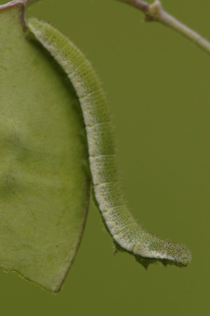 Stock Photo: 4201-26543 Orange Tip (Anthocharis cardamines) butterfly caterpillar on leaf, Netherlands
