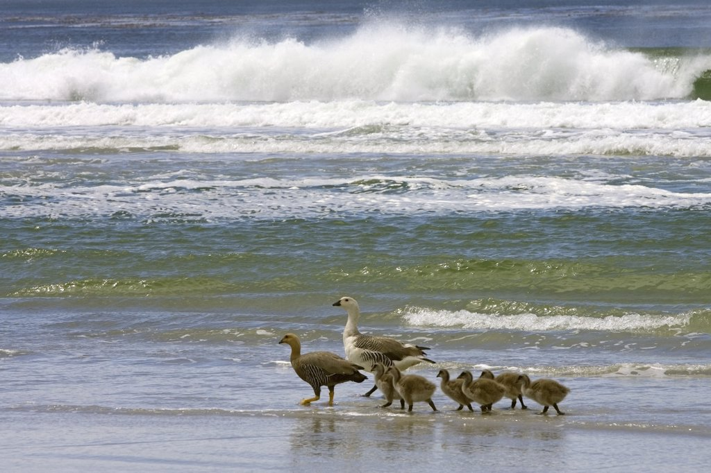 Upland Goose (Chloephaga picta) family at shoreline, Falkland Islands : Stock Photo