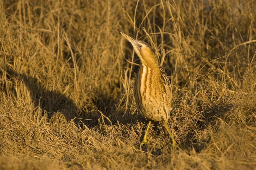 Great Bittern (Botaurus stellaris) camouflaged in reeds, Donana National Park, Seville, Spain : Stock Photo