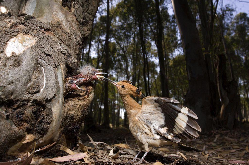 Stock Photo: 4201-27055 Eurasian Hoopoe (Upupa epops) feeding young in nest cavity, Seville, Spain