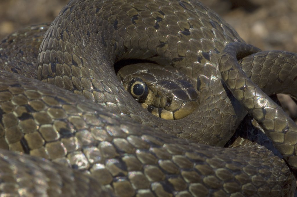 Stock Photo: 4201-27224 Grass Snake (Natrix natrix) coiled into defensive position, Hungary