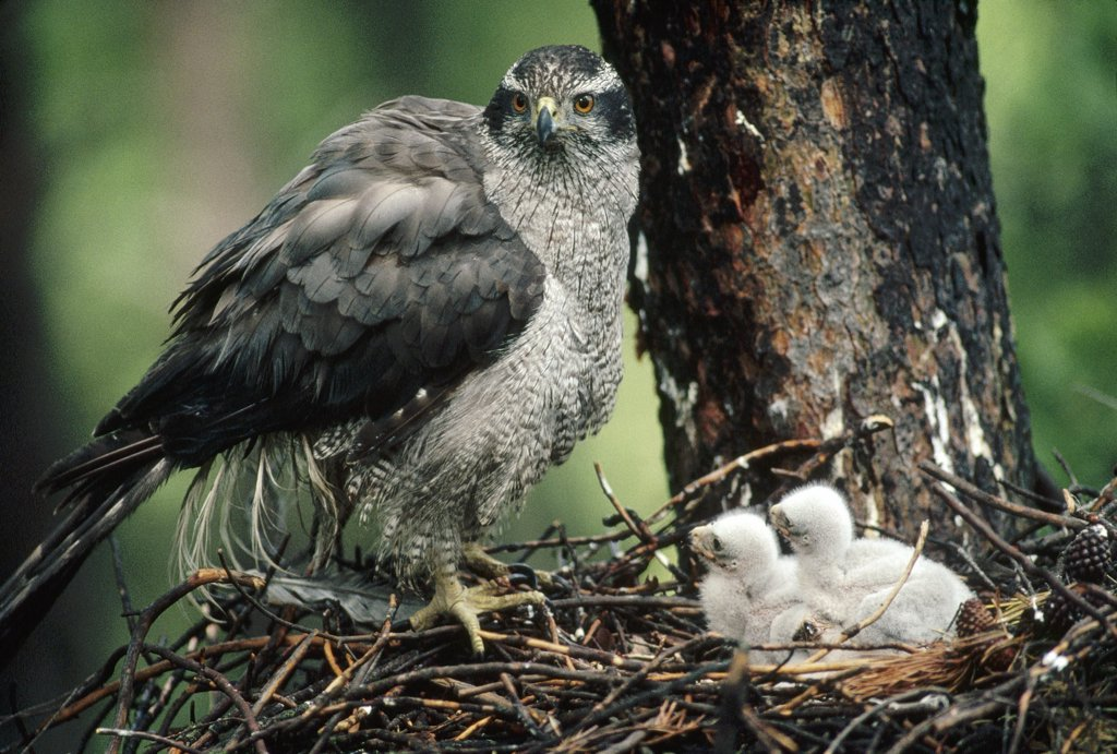 Stock Photo: 4201-2727 Northern Goshawk (Accipiter gentilis) parent at nest with chicks, North America