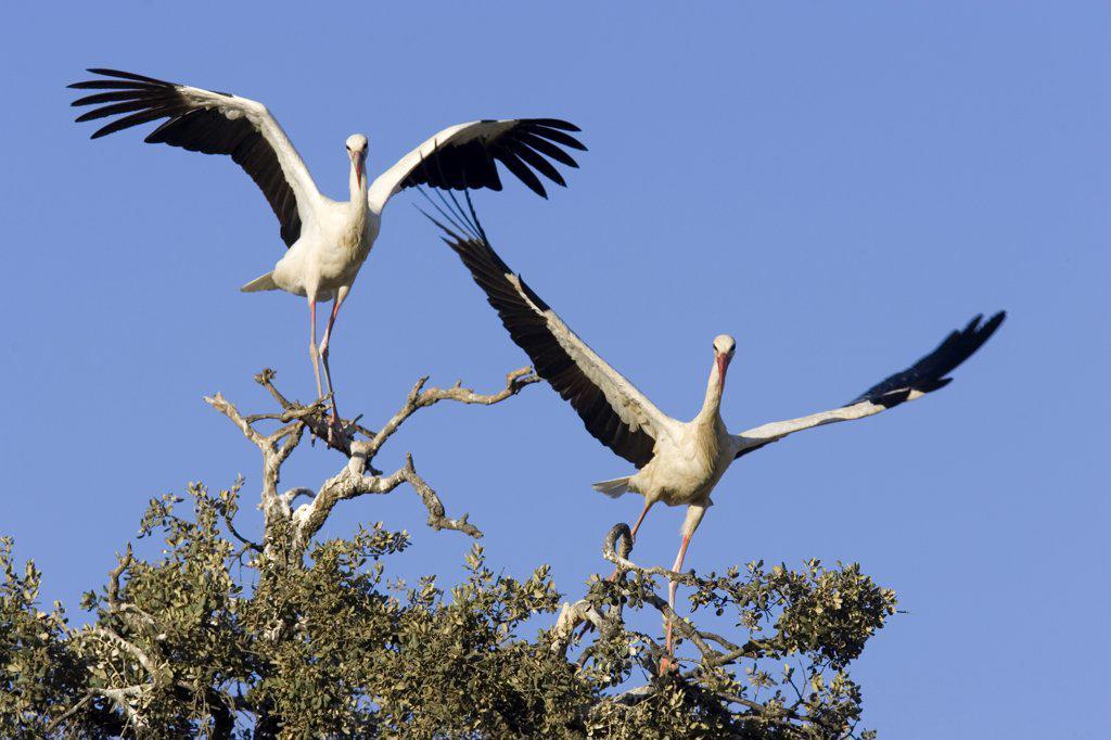 Stock Photo: 4201-28018 White Stork (Ciconia ciconia) pair, Donana National Park, Huelva, Spain