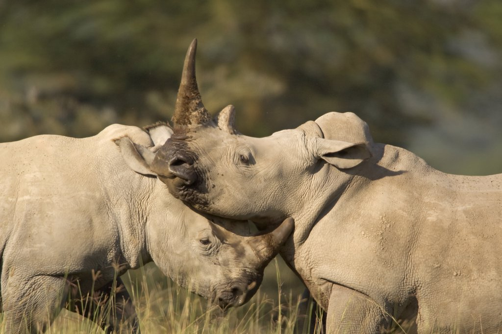 White Rhinoceros (Ceratotherium simum) juveniles sparring, Lake Nakuru National Park, Kenya : Stock Photo