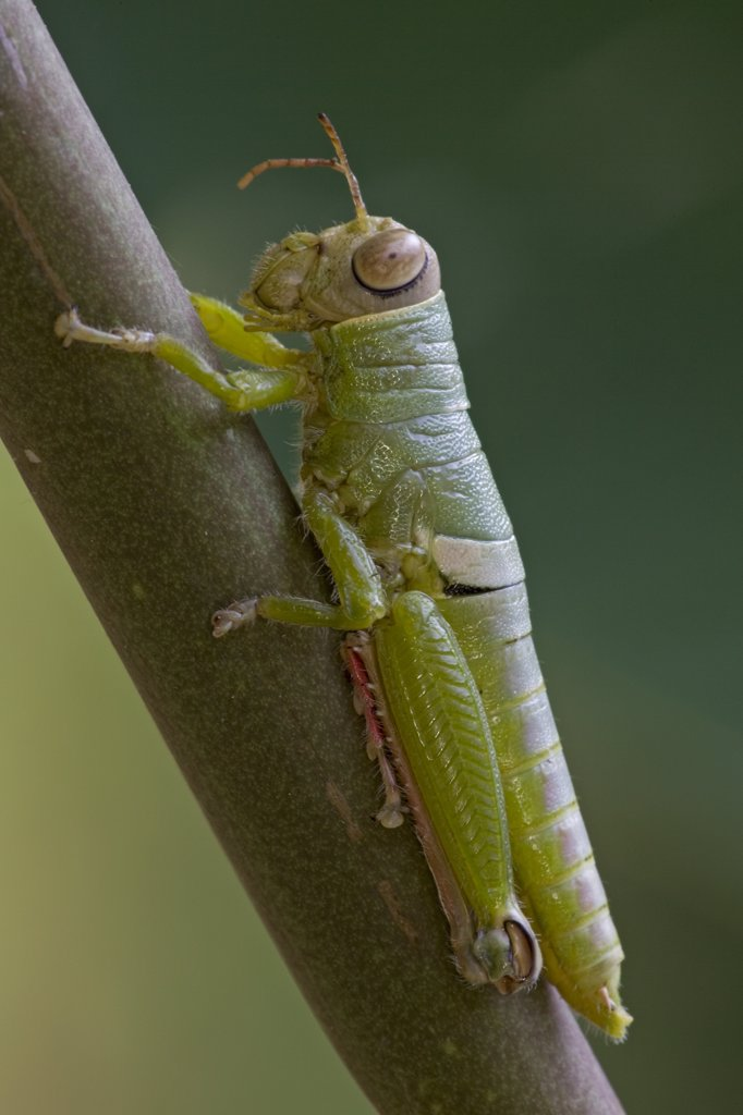An unidentified Grasshopper, Costa Rica : Stock Photo