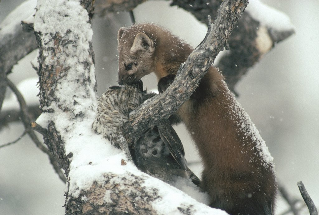 Stock Photo: 4201-2867 American Marten (Martes americana) in tree with captured Ruffed Grouse (Bonasa umbellus) in the winter, Idaho