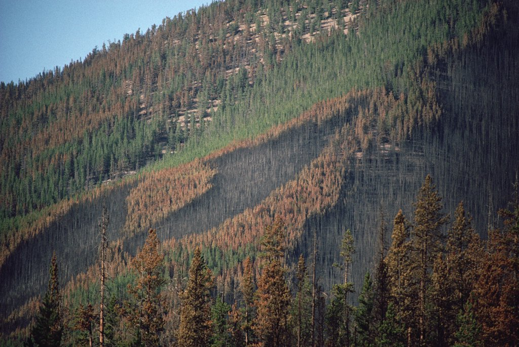 Yellowstone fire, path of forest fire on wooded mountainside, Yellowstone National Park, Wyoming : Stock Photo