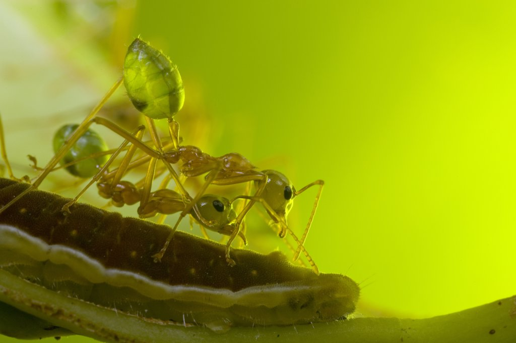 Green Tree Ant (Oecophylla smaragdina) workers guard Gossamer-winged Butterfly (Lycaenidae) caterpillar rear awaiting honeydew, Australia : Stock Photo