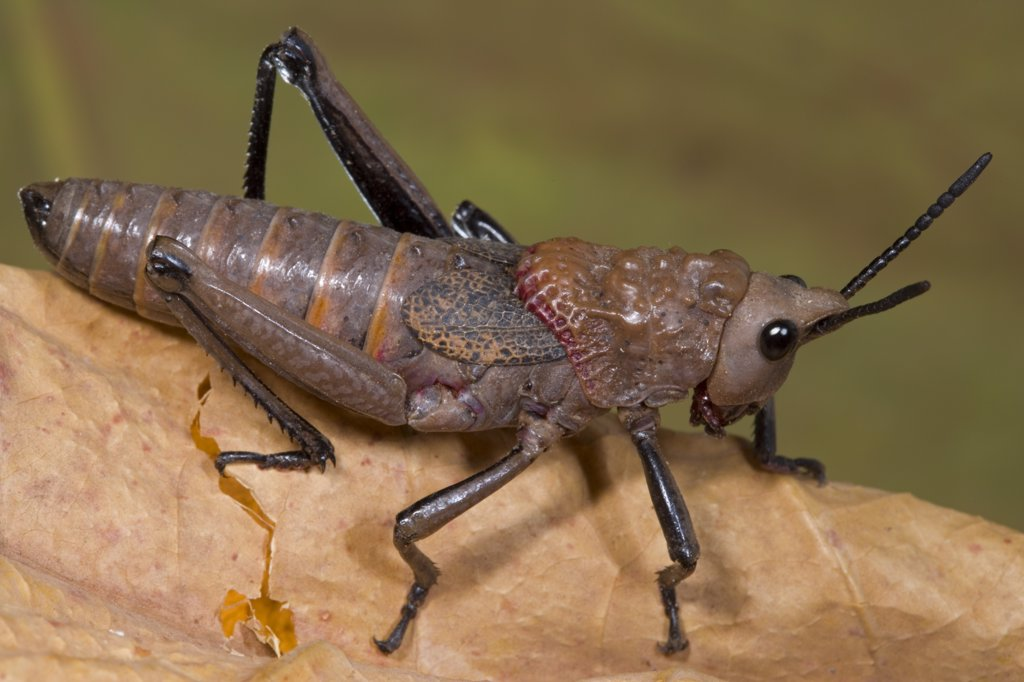 Stock Photo: 4201-28960 African Foam Grasshopper (Dictyophorus cuisinieri), Guinea, Sequence 1 of 2