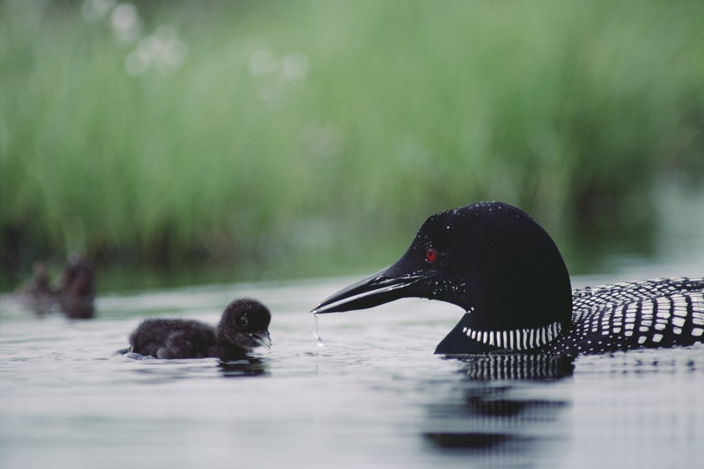 Stock Photo: 4201-2900 Common Loon (Gavia immer) chick is encouraged to swim by its parent, Wyoming