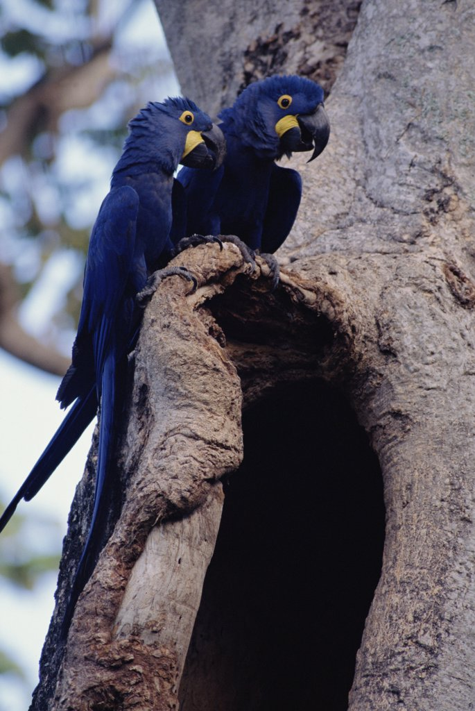 Stock Photo: 4201-29309 Hyacinth Macaw (Anodorhynchus hyacinthinus) pair perching on nest cavity in tree, Pantanal, Brazil