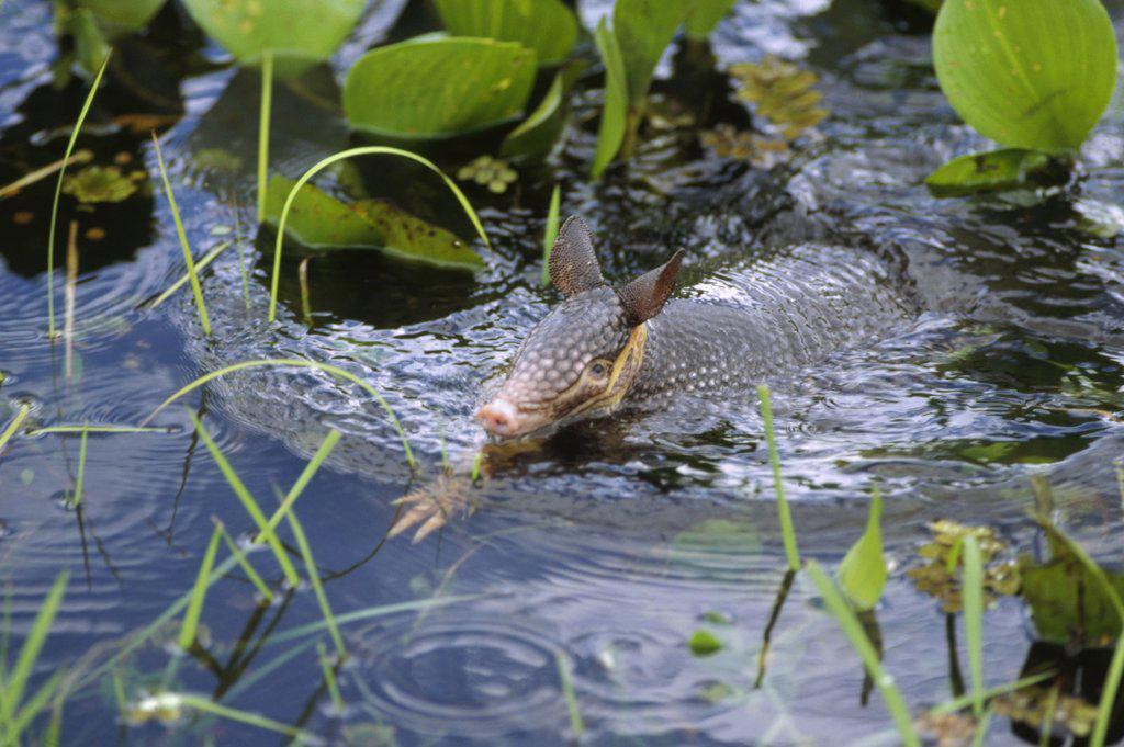 Stock Photo: 4201-29383 Nine-banded Armadillo (Dasypus novemcinctus) swimming through wetland, Pantanal ecosystem, Brazil