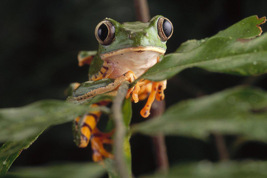 Tiger-striped Leaf Frog (Phyllomedusa Tomopterna) Or