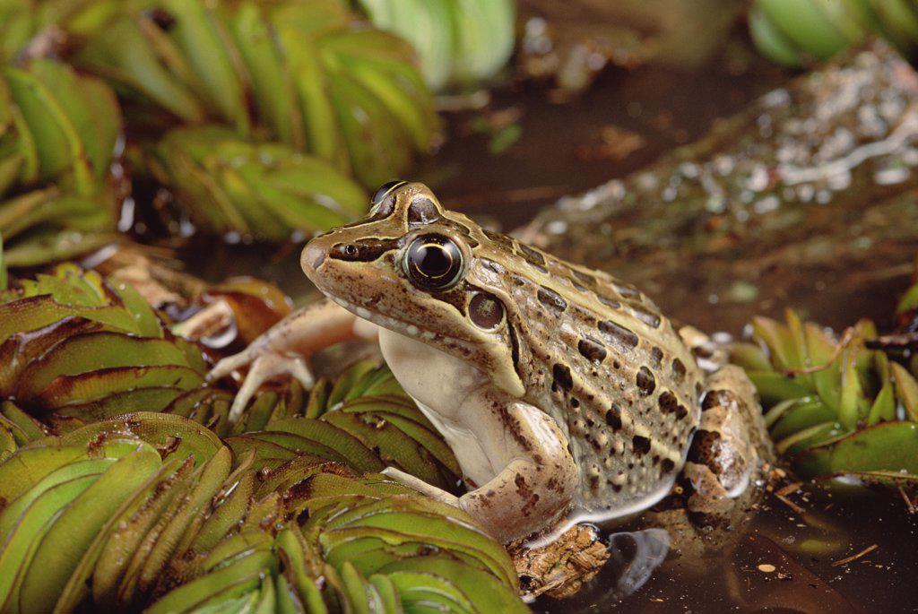 Stock Photo: 4201-29581 Crilloa Frog (Leptodactylus ocellatus), southern Brazil