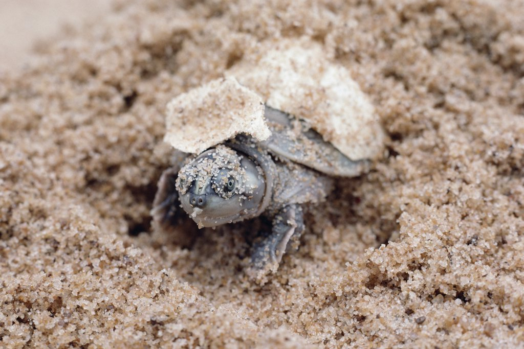 South American River Turtle (Podocnemis expansa) hatching, Amazon, Brazil : Stock Photo