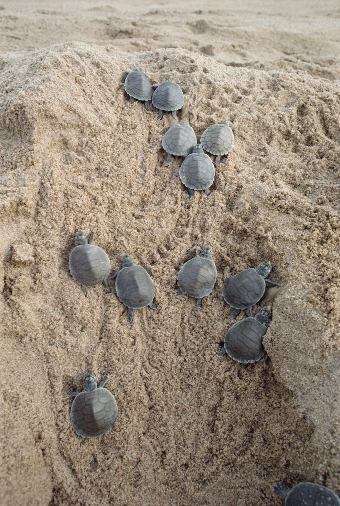 Stock Photo: 4201-29591 South American River Turtle (Podocnemis expansa) young turtles racing to the water, Amazon, Brazil
