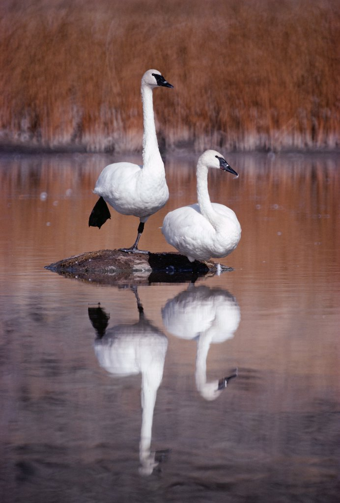 Trumpeter Swan (Cygnus buccinator) pair with reflections in lake, Yellowstone National Park, Wyoming : Stock Photo