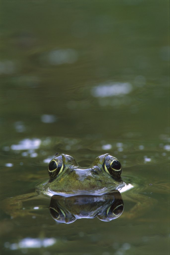 Bronze Frog (Rana clamitans) in pond, West Stony Lake, Nova Scotia, Canada : Stock Photo