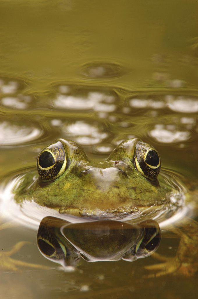Stock Photo: 4201-29815 Bronze Frog (Rana clamitans), West Stony Lake, Nova Scotia, Canada