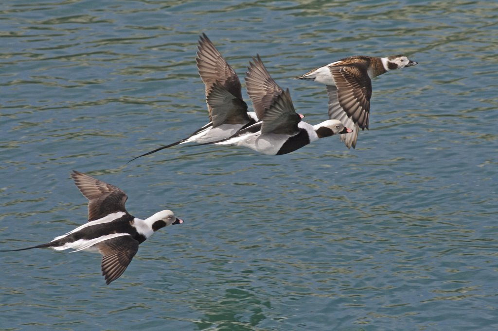 Stock Photo: 4201-29836 Long-tailed Duck (Clangula hyemalis) group flying, Saulnierville, St. Mary's Bay, Nova Scotia, Canada