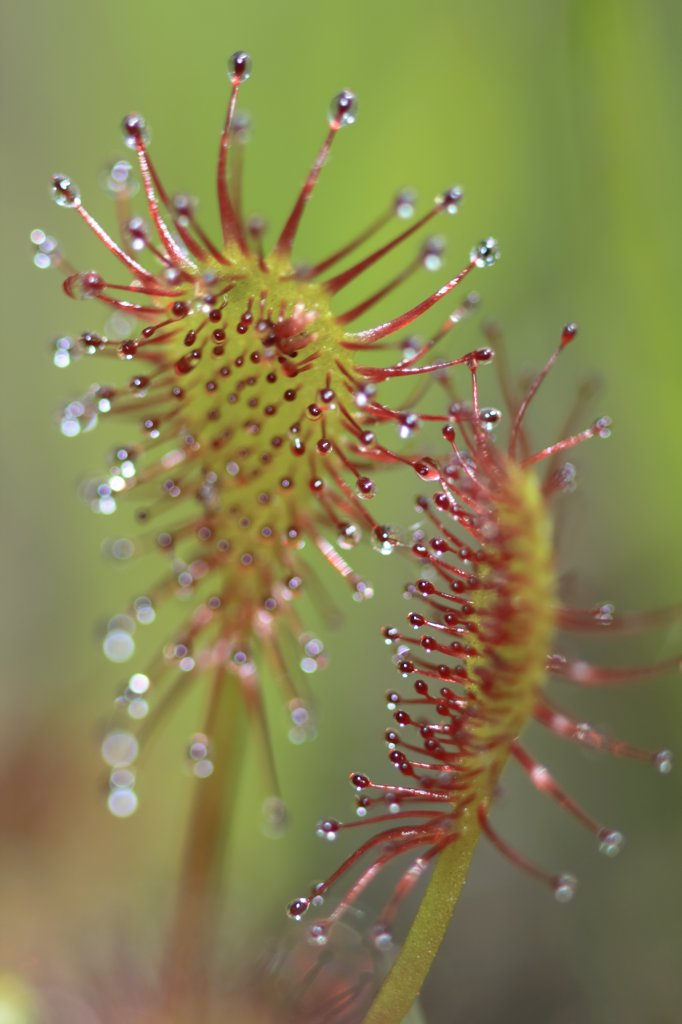 Stock Photo: 4201-29891 Sundew (Drosera sp) leaf and sticky tentacles, West Stoney Lake, Nova Scotia, Canada
