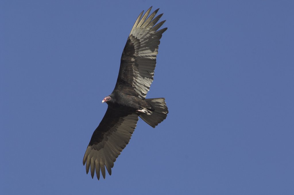 Stock Photo: 4201-29894 Turkey Vulture (Cathartes aura) flying, Big Bend Ranch State Park, Texas