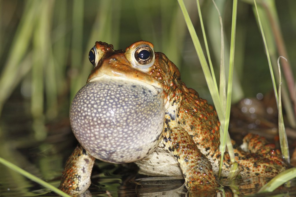 Stock Photo: 4201-29965 American Toad (Bufo americanus) calling in spring pond, West Stoney Lake, Nova Scotia, Canada. Sequence 1 of 2