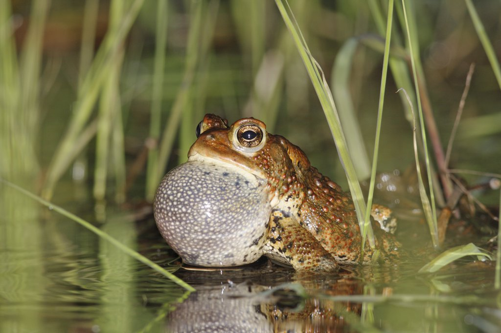 Stock Photo: 4201-29967 American Toad (Bufo americanus) calling in spring pond, West Stoney Lake, Nova Scotia, Canada. Sequence 1 of 2