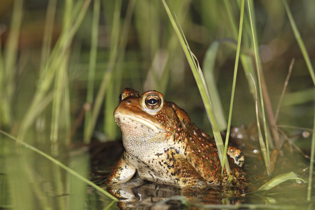 American Toad (Bufo americanus) in spring pond, West Stoney Lake, Nova Scotia, Canada. Sequence 2 of 2 : Stock Photo