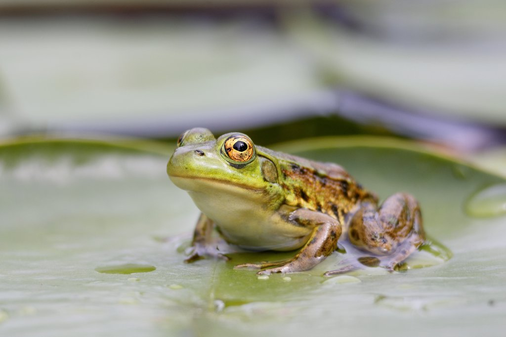 Stock Photo: 4201-29972 Mink Frog (Rana septentrionalis) on lily pad, West Stoney Lake, Nova Scotia, Canada