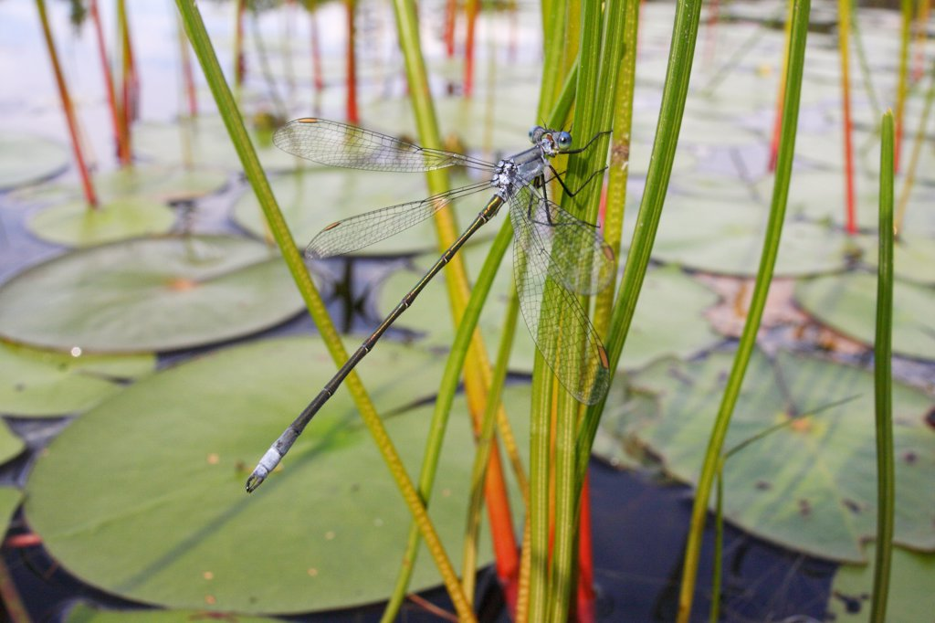 Stock Photo: 4201-29976 Damselfly (Lestidae) on reed, West Stoney Lake, Nova Scotia, Canada