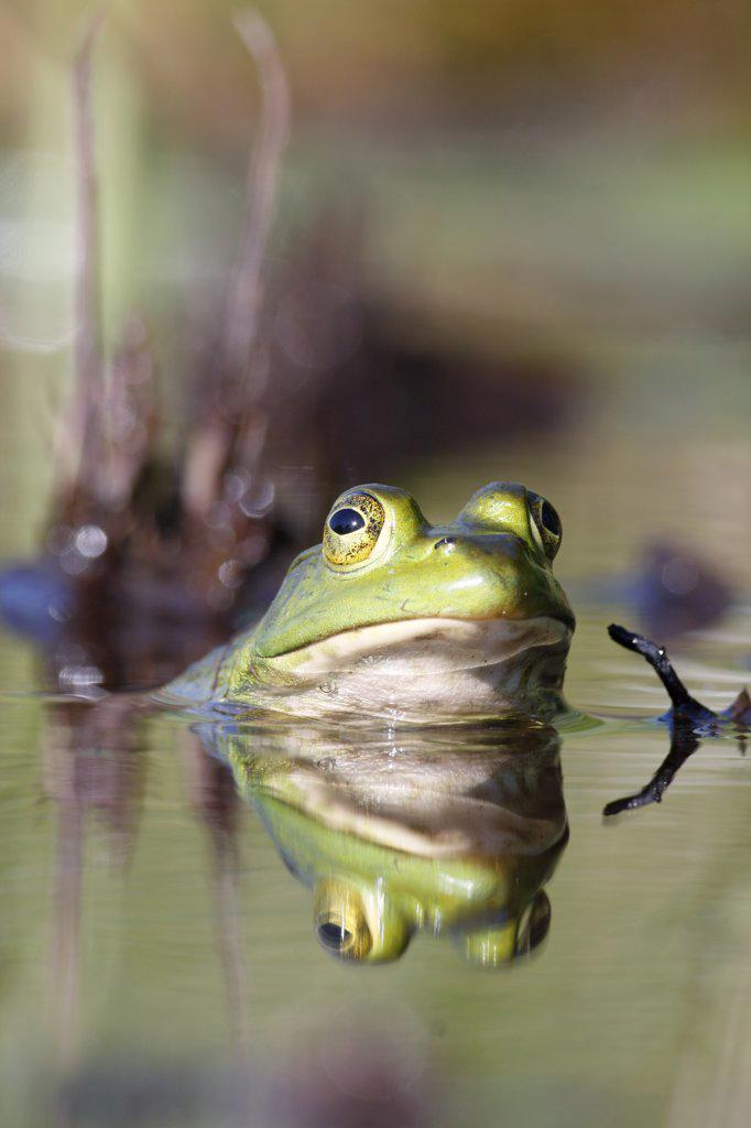 Bronze Frog (Rana clamitans), West Stoney Lake, Nova Scotia, Canada : Stock Photo