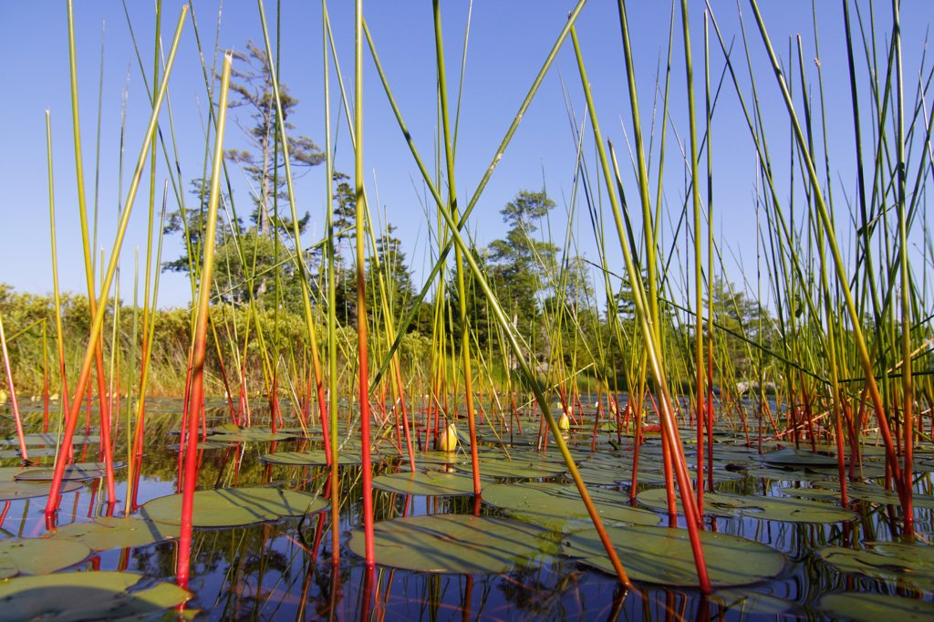 Marsh with reeds and lily pads surrounding a pond, West Stoney Lake, Nova Scotia, Canada : Stock Photo