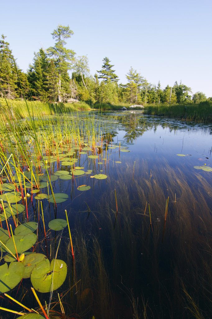 Marsh with reeds and lily pads surrounding a pond, Nova Scotia, Canada : Stock Photo