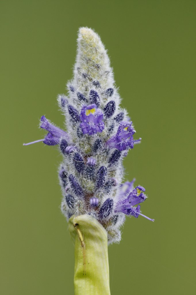 Pickerelweed (Pontederia cordata) flower near West Stoney Lake, Nova Scotia, Canada : Stock Photo