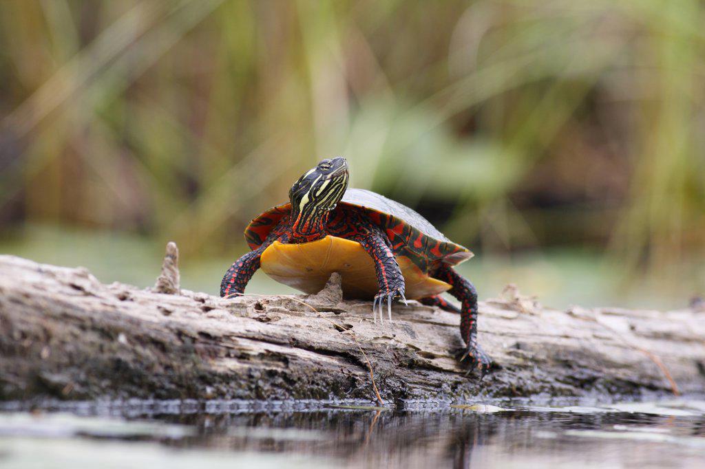 Painted Turtle (Chrysemys picta) sunbathing on log, West Stoney Lake, Nova Scotia, Canada : Stock Photo