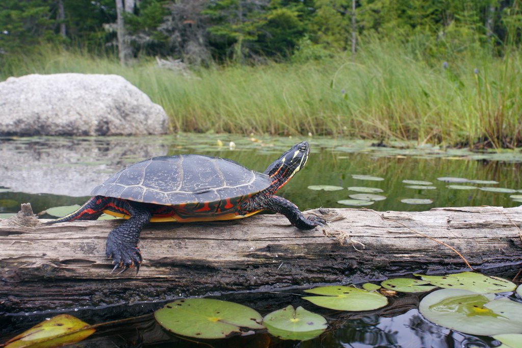 Painted Turtle (Chrysemys picta) sunbathing on log, West Stoney Lake, Nova Scotia, Canada : Stock Photo