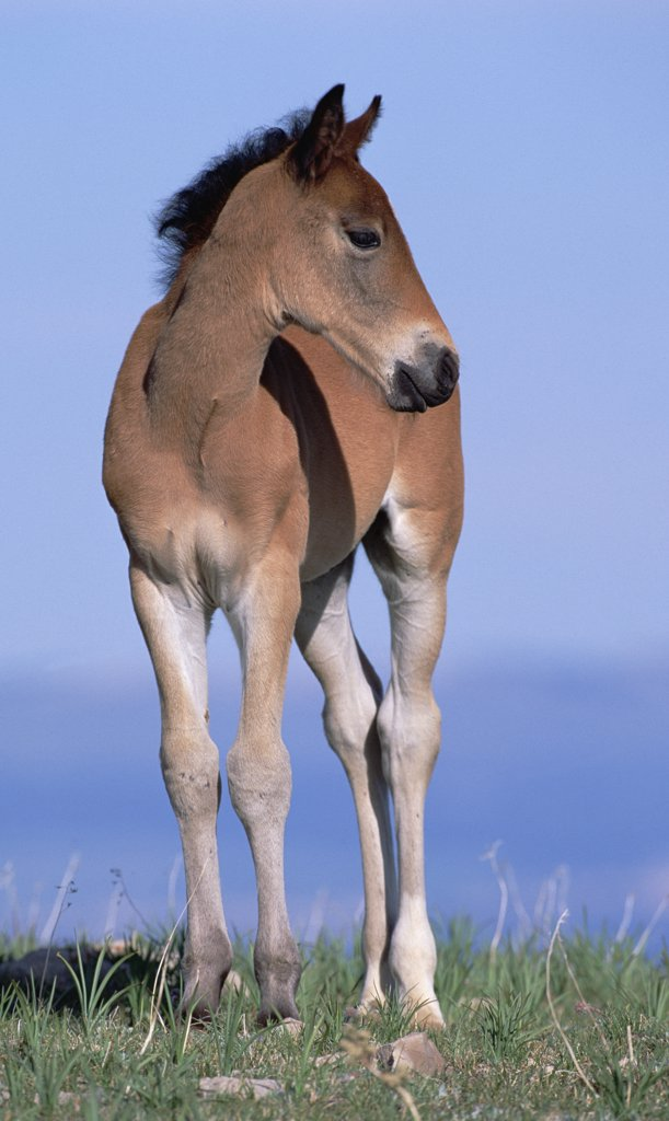 Mustang (Equus caballus) portrait of spring foal in open range, Pryor Mountain Wild Horse Range, Montana : Stock Photo